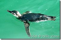 Pinguim em Ilhabela - Foto © Hélio Viana