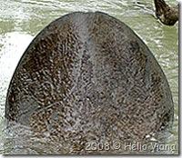 Rabo do peixe-mulher em Barra de Mamanguape - Foto © Hélio Viana