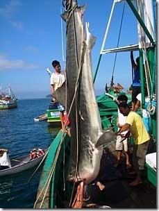 Tubarão pescado em Provetá