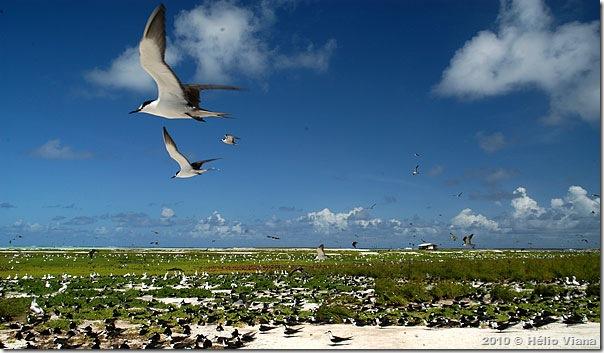 A Ilha do Farol é um imenso ninhal